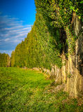 Poplar alley in summer Stock Photos