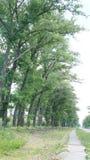 Poplar avenue Royalty Free Stock Photo
