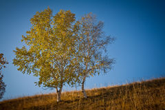 Poplar autumn Stock Image