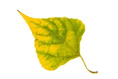 Poplar autumn leaf Stock Photos