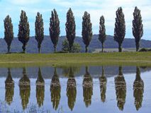 Poplar Avenue. A poplar avenue mirroring in a pond Royalty Free Stock Images