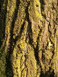 Poplar bark Royalty Free Stock Photos