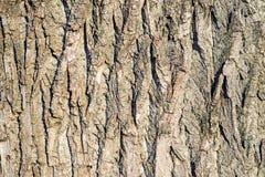Poplar bark Stock Photography