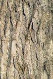 Poplar bark Royalty Free Stock Image