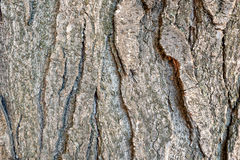 Poplar bark macro Royalty Free Stock Images