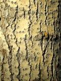 Poplar bark. Texture of a tree poplar, bark, macro Royalty Free Stock Photography