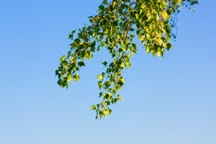 Poplar branch Royalty Free Stock Photos