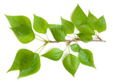 Poplar branch Royalty Free Stock Photo