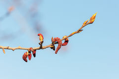 Poplar branch with buds Royalty Free Stock Photos