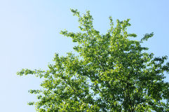 Poplar branches Royalty Free Stock Photography