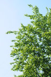 Poplar branches Royalty Free Stock Photo