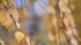 Poplar branches with natural autumn leaves royalty free stock images