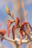 Poplar buds closeup Royalty Free Stock Photos