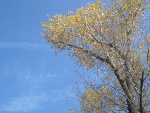 Poplar crown on blue sky in autumn Royalty Free Stock Images