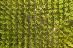 Poplar cultivation. Aerial view of a poplar cultivation Royalty Free Stock Images