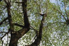 Poplar deciduous tree Stock Photo
