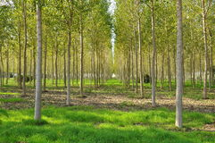 Poplar field in Lombardy, Italy. Poplar alignment perspective. Po river plain in Lombardy, Italy Royalty Free Stock Image