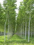 Poplar field in Tuscany, Italy. Poplar alignment perspective.  Poplar field in Tuscany, Italy Royalty Free Stock Photography