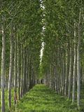 Poplar field in Tuscany, Italy. Poplar alignment perspective.  Poplar field in Tuscany, Italy Stock Photos