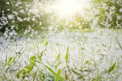 Poplar fluff lies in the green grass and flies through the air in the rays of sunlight. Strong allergen, health hazard concept. Poplar fluff lies in the green royalty free stock image