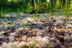 Poplar fluff lies on the ground in the forest, grass sprouts at sunset royalty free stock photography