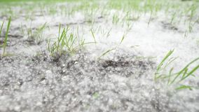 Poplar fluff lying on the ground. The wind stirs the grass and fluff in the summer stock video