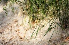 Poplar fluff. In summer Stock Images