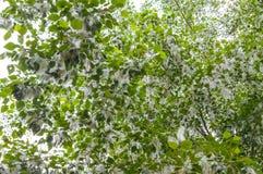 Poplar fluff. Summer starts with poplar fluff. Beautiful poplar fluff royalty free stock image