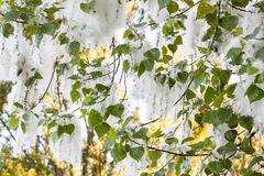 Poplar fluff Royalty Free Stock Images