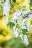 Poplar fluff. White fluff of flowering poplar Royalty Free Stock Photos