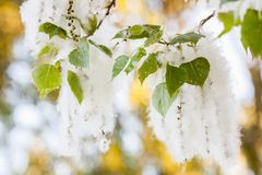 Poplar fluff. White fluff of flowering poplar Stock Photography