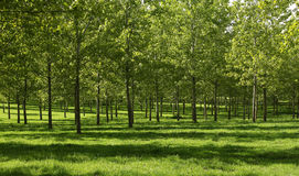 Poplar forest. Young poplar forest and green grass Royalty Free Stock Photo
