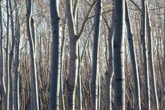 Poplar forest. The background of winter poplar trunks Stock Images