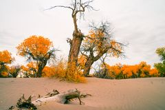 Euphrates poplar in desert. The poplar forest in the desert becomes orange in the fall, Ejinaqi ,China Royalty Free Stock Photos