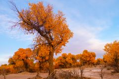 Euphrates poplar in desert. The poplar forest in the desert becomes orange in the fall, Ejinaqi ,China Royalty Free Stock Images