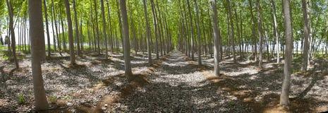 Poplar forest panoramic Stock Photo