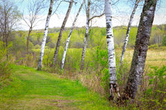 Poplar Forest in Spring. Vview of poplar forest in early Spring along green path Stock Photo