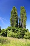 Poplar. Green poplar in the landscape Stock Photo