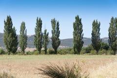 Poplar grove Royalty Free Stock Images