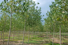 Poplar grove. In agricultural area Stock Photo