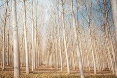 Poplar grove Stock Image