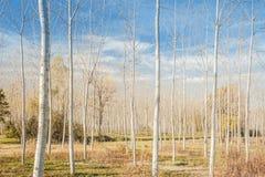 Poplar grove Stock Images