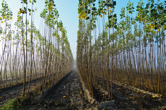 Poplar grove. Poplar cultivation: field planted with young trees Royalty Free Stock Photos