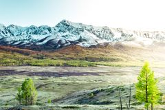 Poplar grove early in the morning in the mountain valley. Yellow trees and snowy rocks in the autumn season royalty free stock images