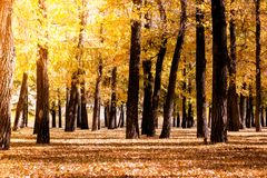 Poplar grove. Forest of trees with yellow leaves. In autumn royalty free stock images