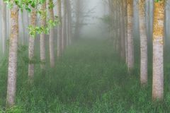 Poplar grove in a misty morning Stock Images