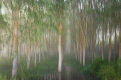 Poplar grove in a misty morning Stock Photography