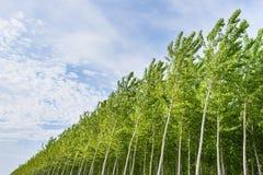 Poplar grove Royalty Free Stock Photo