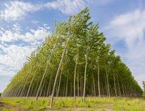 Poplar grove Royalty Free Stock Image