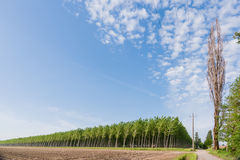 Poplar grove Royalty Free Stock Photos